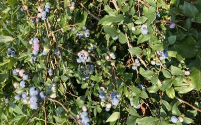 Blueberries and Healthy Cooking